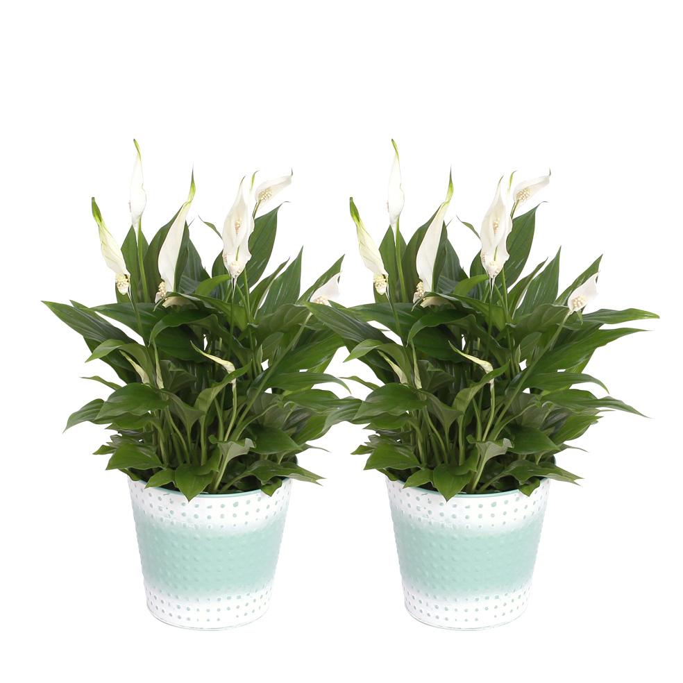 Dagaanbieding - 2 Spathiphyllum Pearl Cupido Lepelplant dagelijkse koopjes