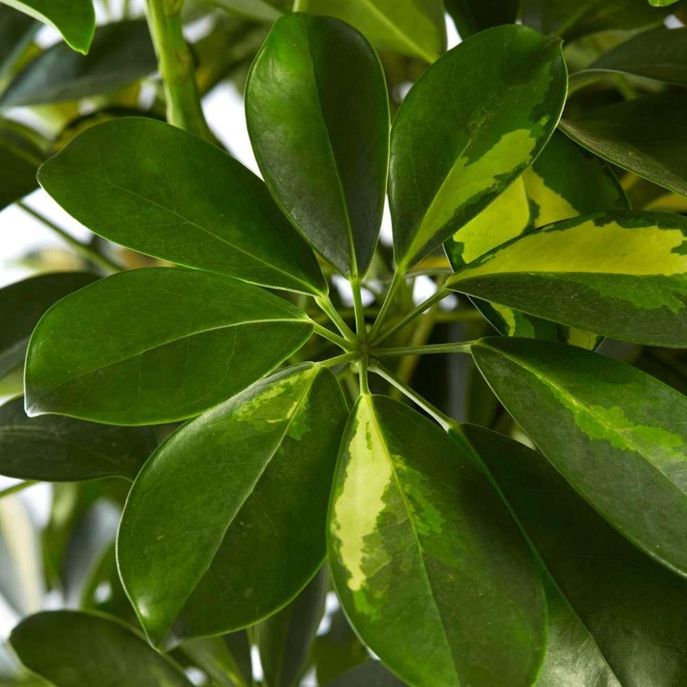 Schefflera Gold Capella Vingerplant