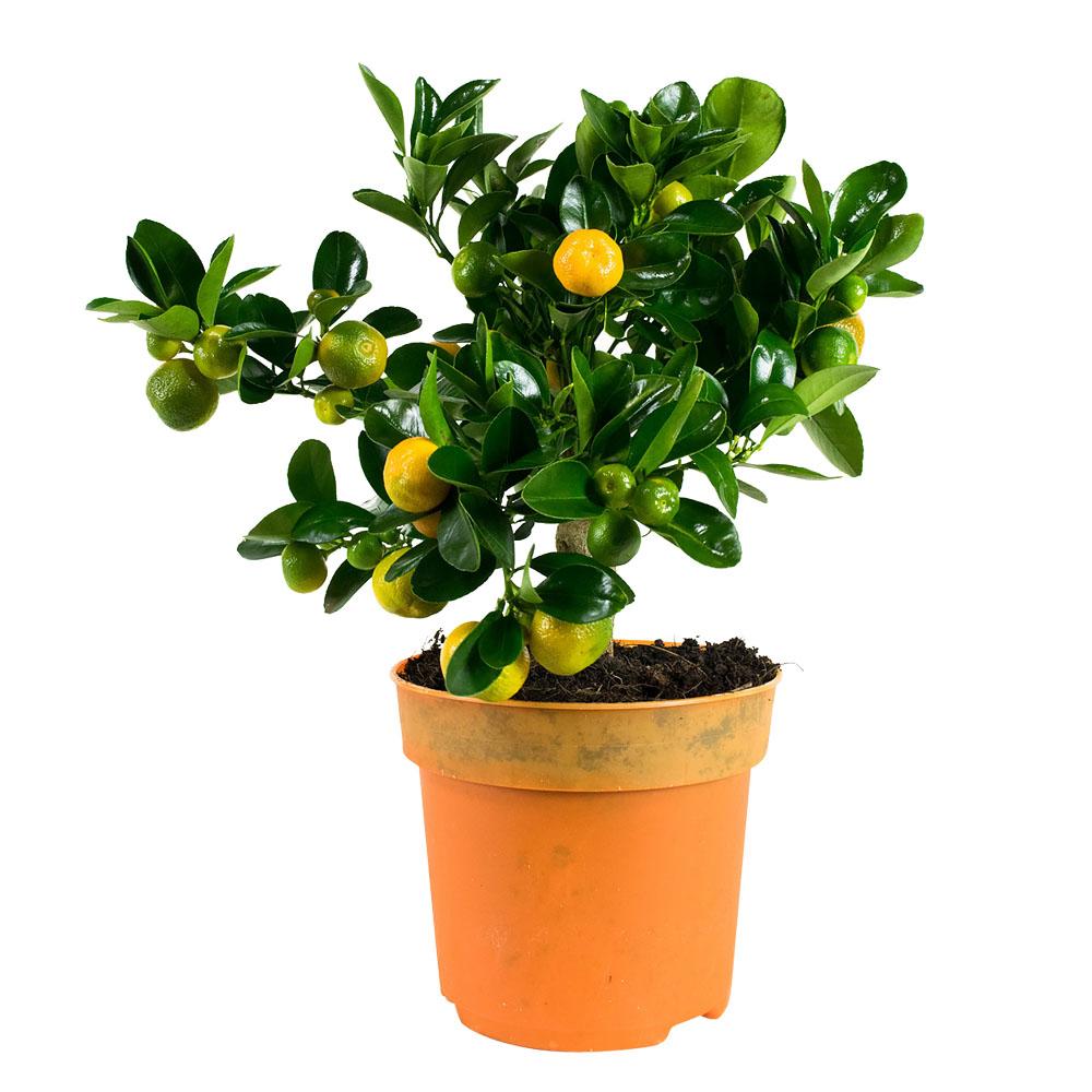 Dagaanbieding - Citrus Microcarpa Calamondine Kamersinasappel dagelijkse koopjes