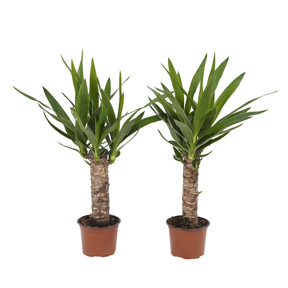 Dagaanbieding - 2 Yucca Elephantipes Palmlelie dagelijkse koopjes