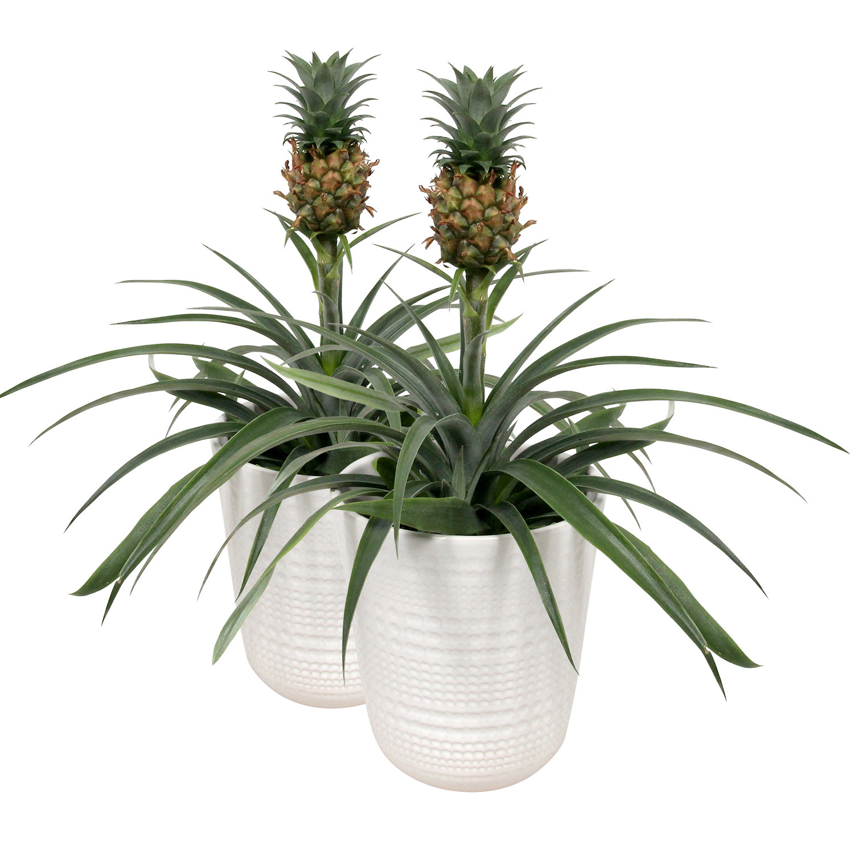 Dagaanbieding - 2 Bromeliaenapos;s Ananasplant Corona in pot dagelijkse koopjes