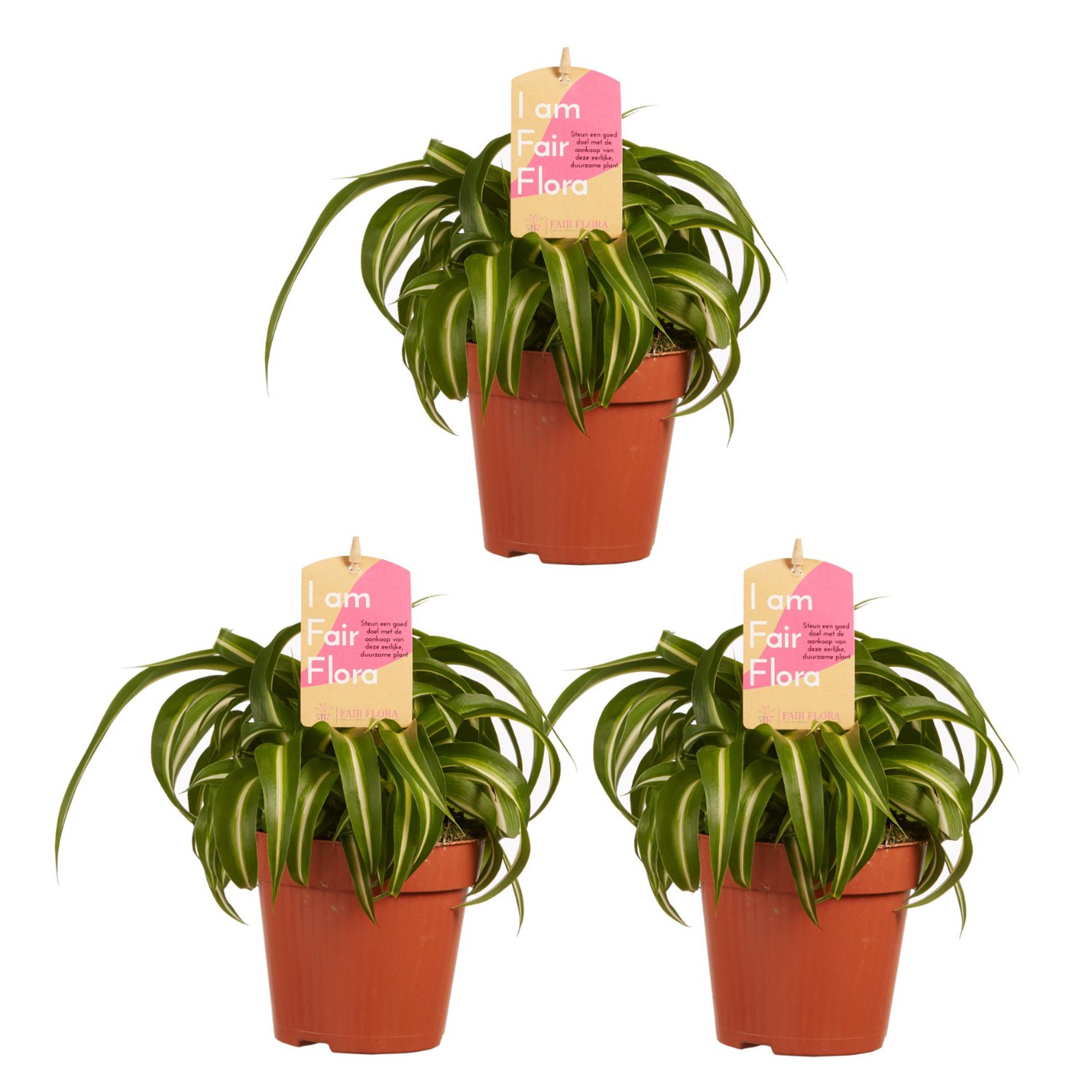 Dagaanbieding - 3 Chlorophytum Comosum Bonnie Graslelie dagelijkse koopjes
