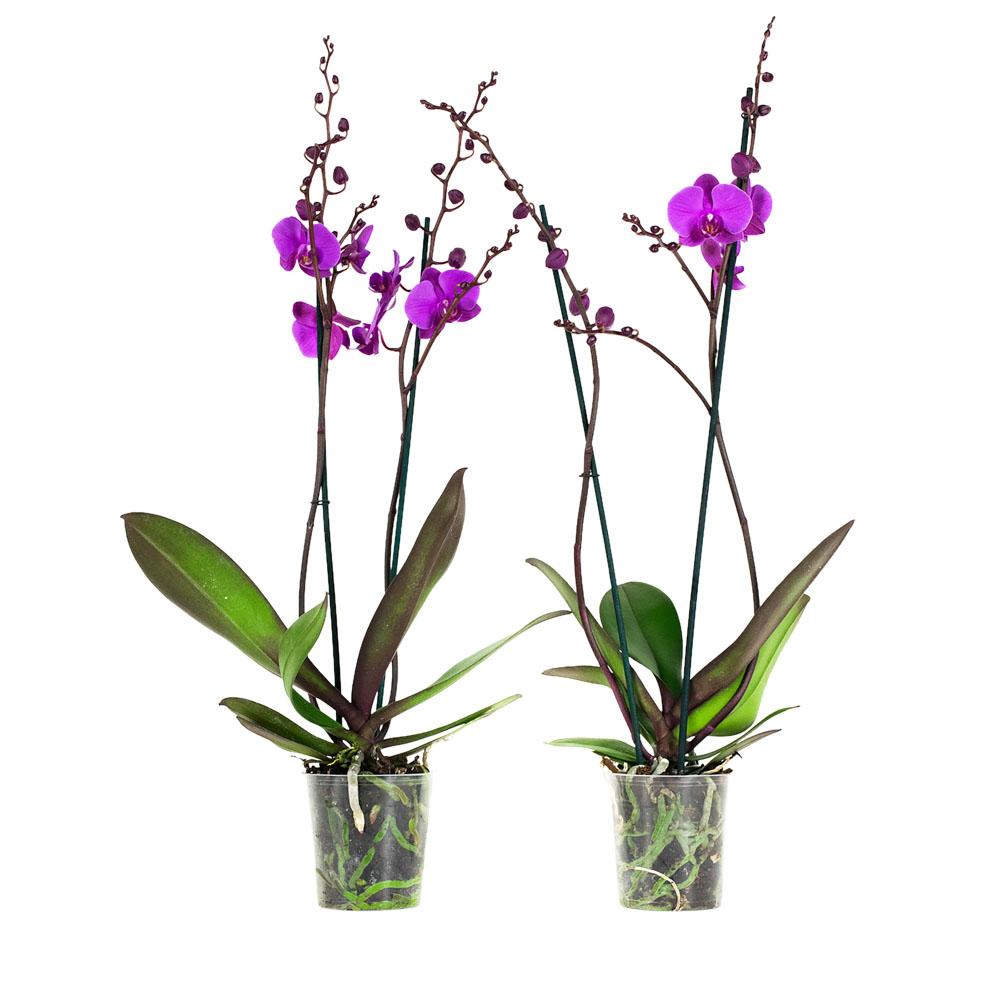 Dagaanbieding - 2 Phalaenopsis Atlantis dagelijkse koopjes
