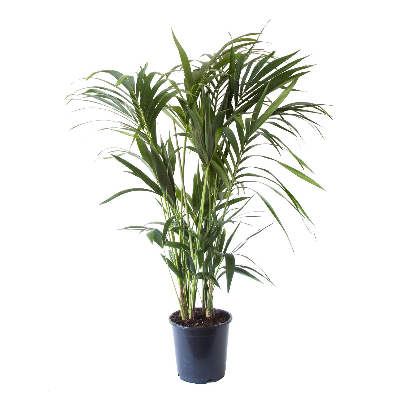 Dagaanbieding - Howea fosteriana kentiapalm dagelijkse koopjes