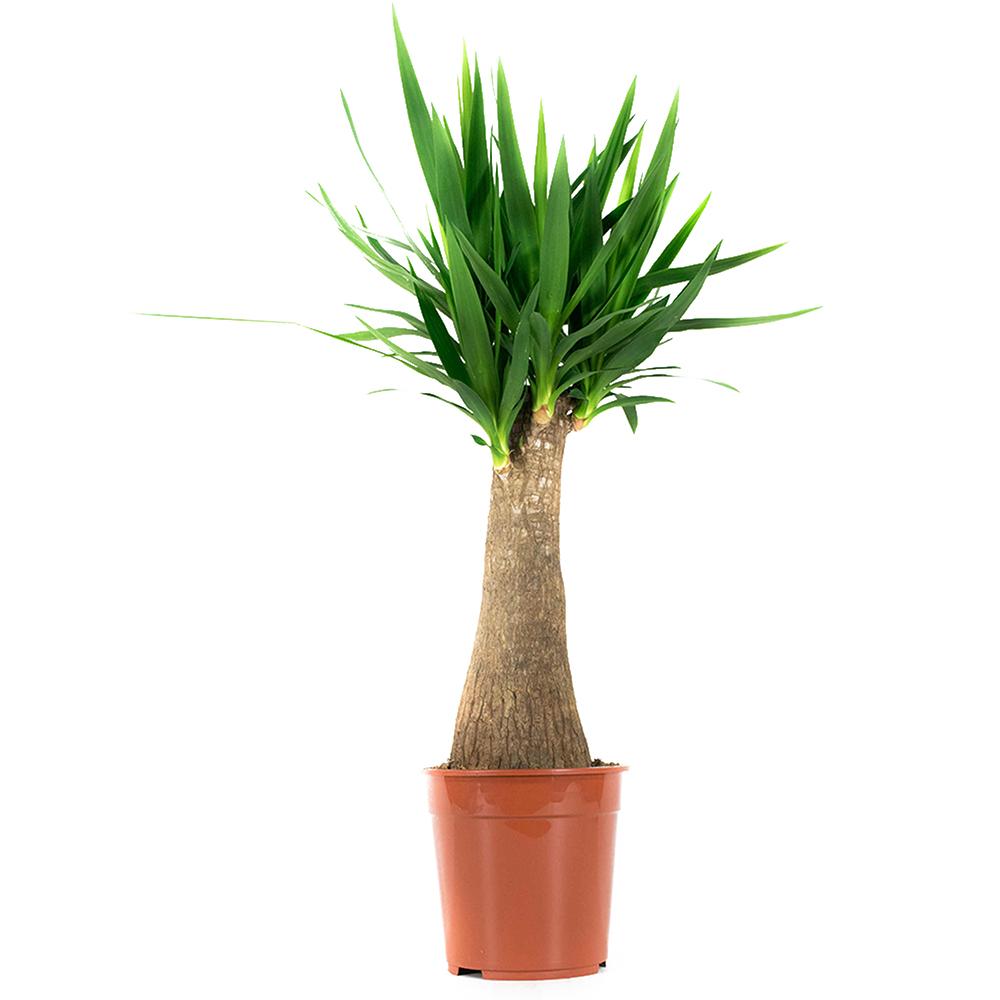 Dagaanbieding - Yucca Elephantipes Palmlelie dagelijkse koopjes