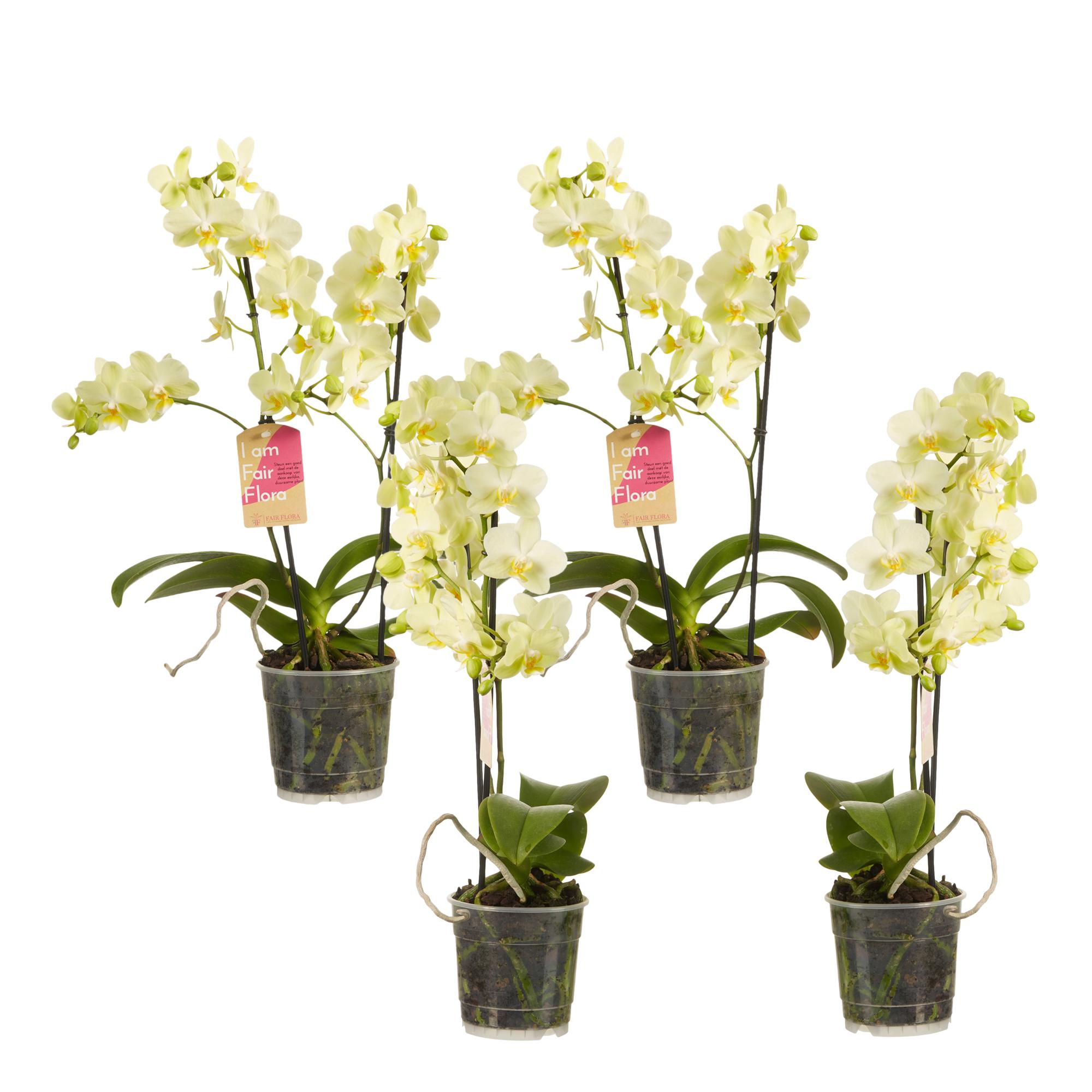 Elección de verde - 1 Phalaenopsis multifl-Amarillo-Orquídea de mariposa ↨ 50CM