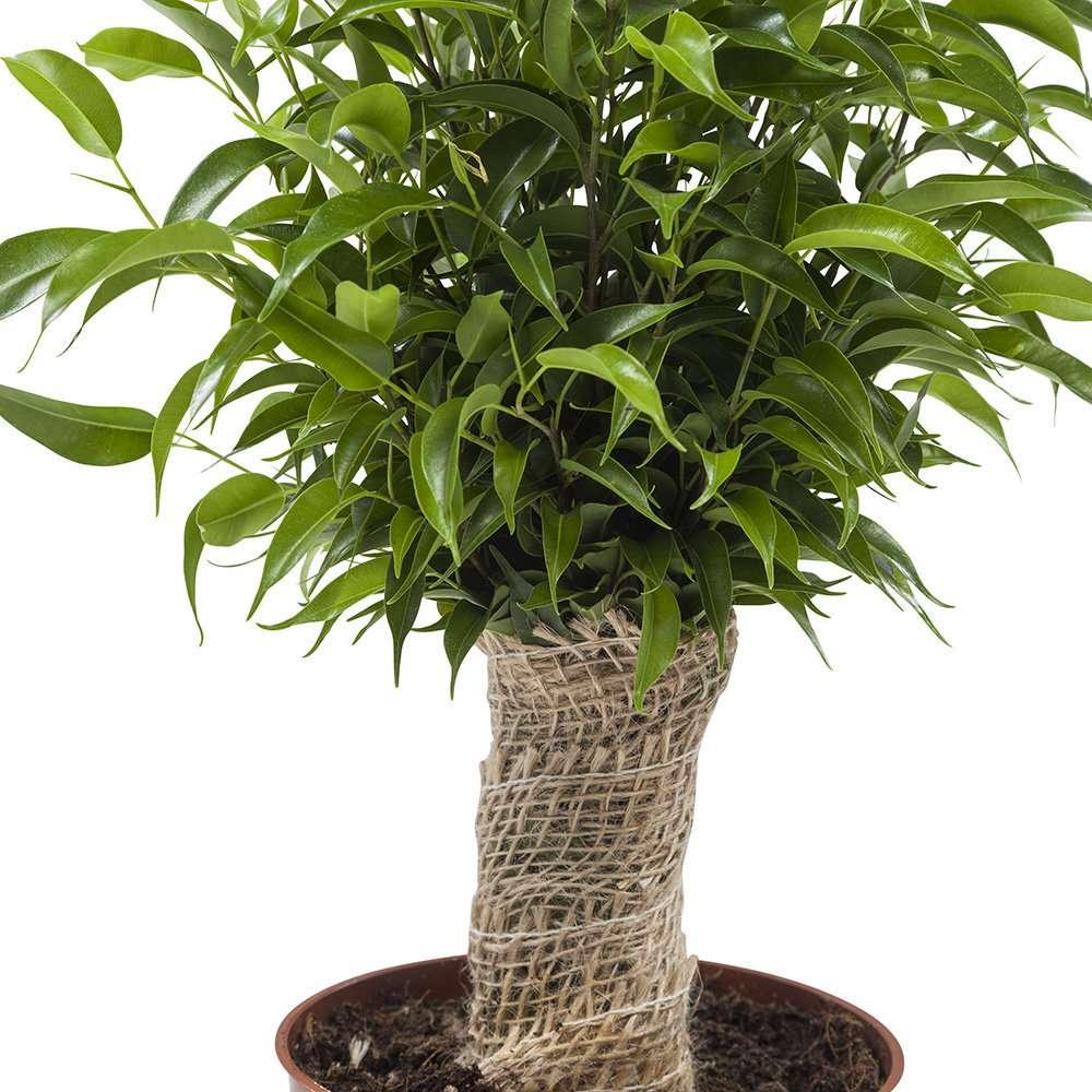 Ficus Natasja set van 3 stuks