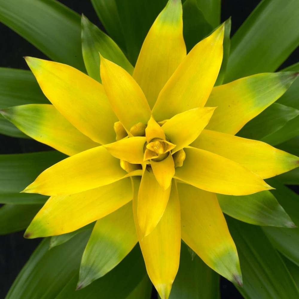 Bromelia Guzmania Deseo Yellow