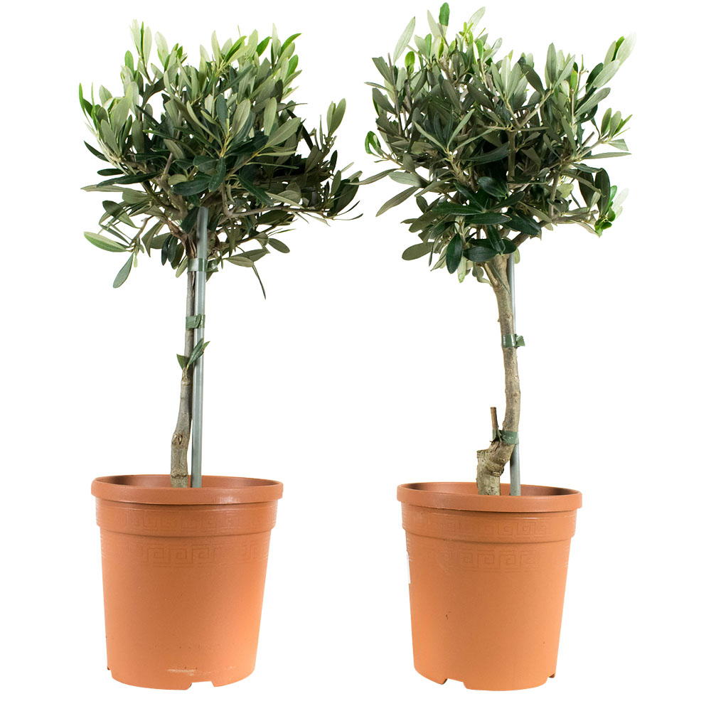 Dagaanbieding - 2 Olea Europeae Olijfboom dagelijkse koopjes