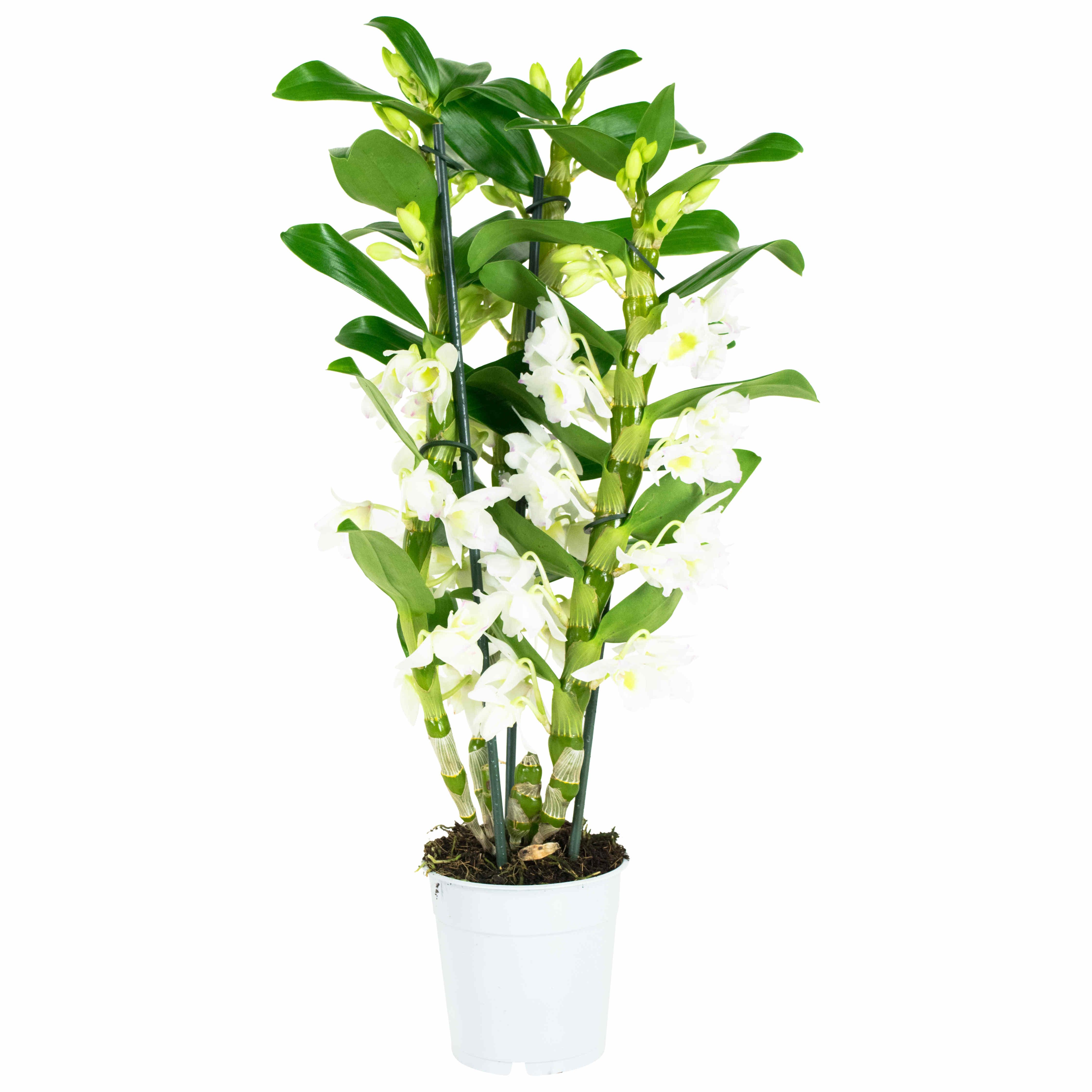 Dagaanbieding - Dendrobium Nobile Apollon dagelijkse koopjes