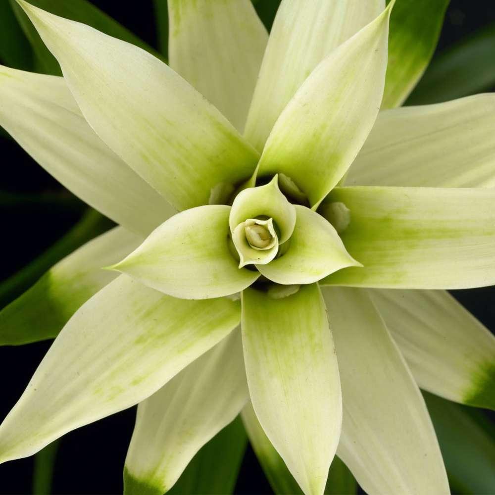 Bromelia Guzmania Deseo White