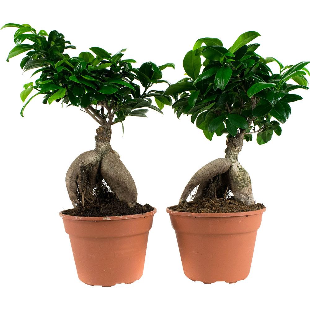 Dagaanbieding - 2 Ficus Bonsai Ginseng dagelijkse koopjes