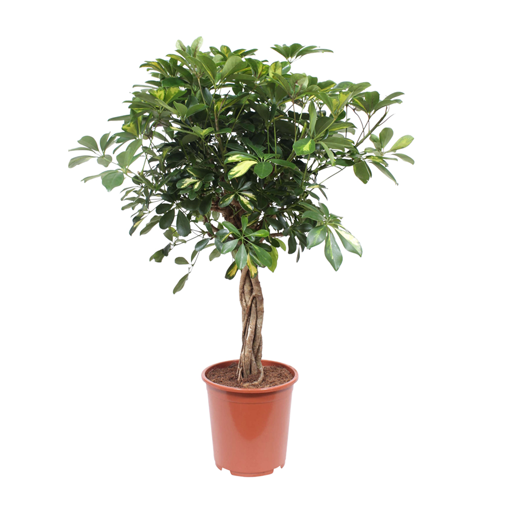 Dagaanbieding - Schefflera Arboricola Vingersboom dagelijkse koopjes