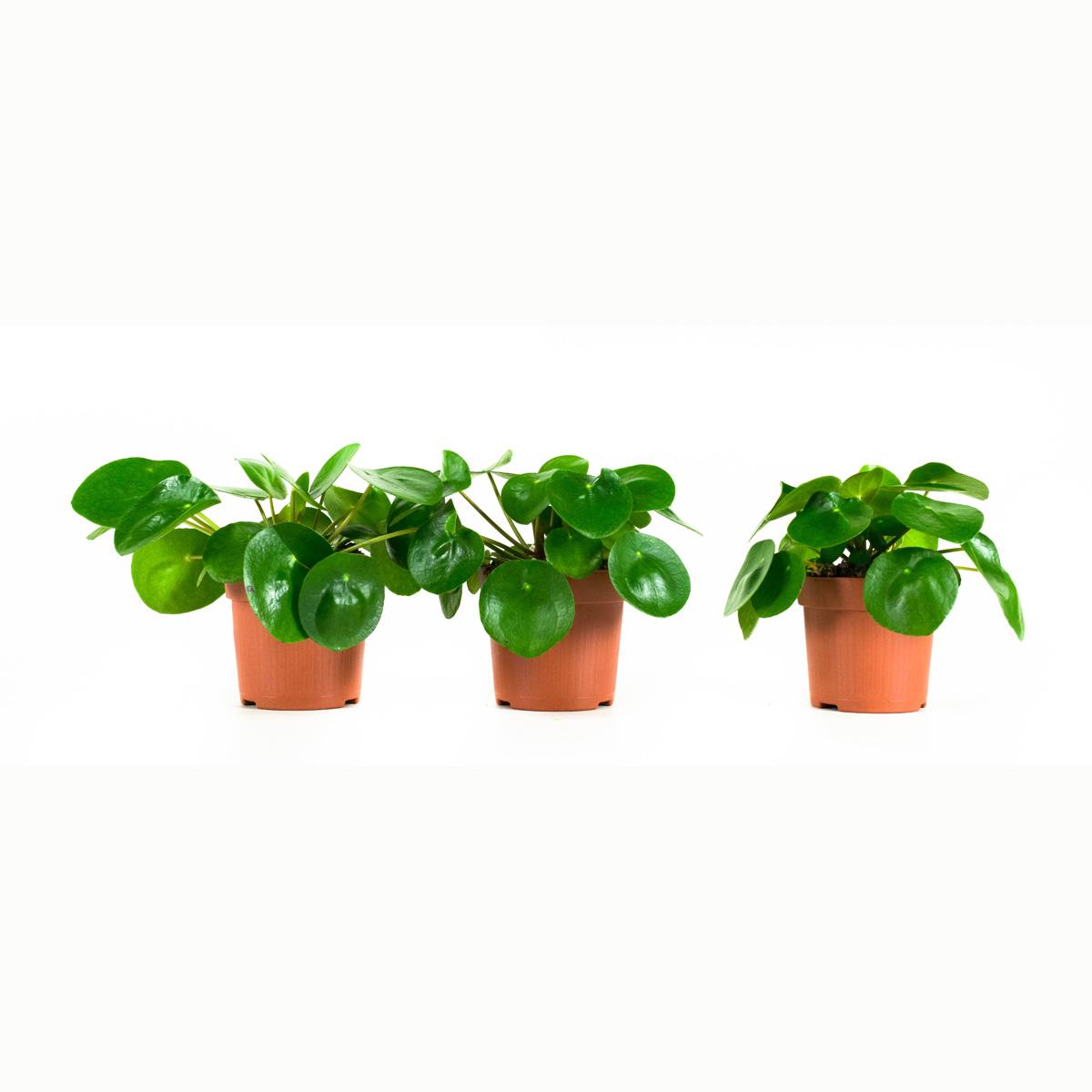 Dagaanbieding - Peperomioides, Pannenkoekenplant dagelijkse koopjes