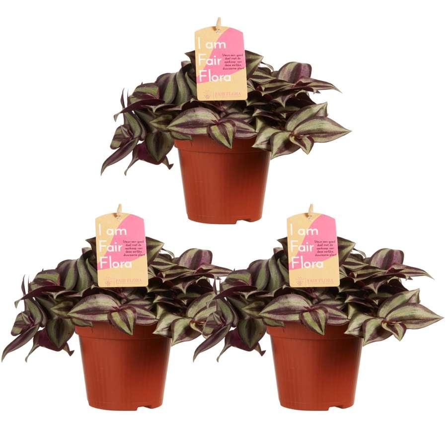 Tradescantia Zebrina Vaderplant, Eendagsbloem - set van 3 stuks